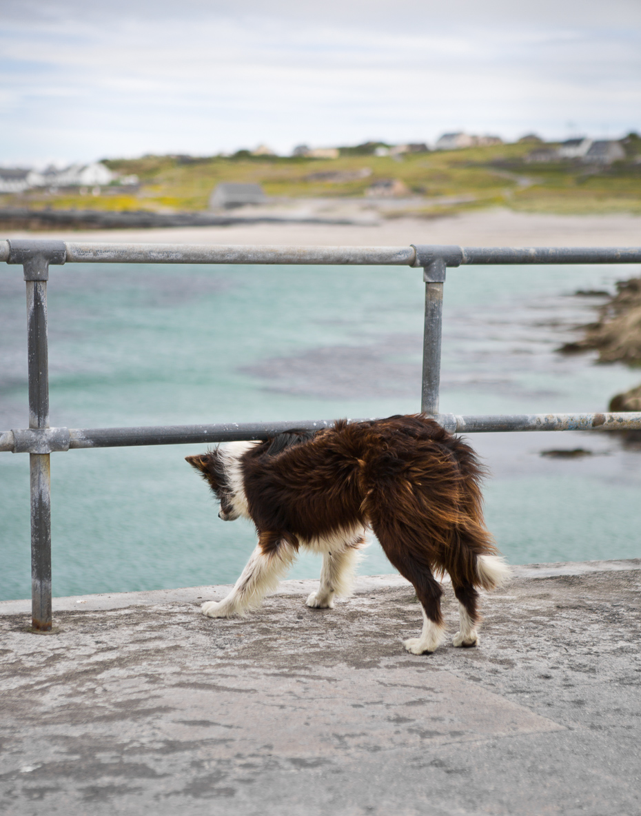Aran_Island_Dog_Irelend.jpg